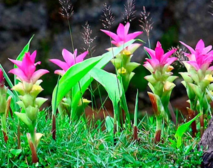Куркума ароматная (Curcuma aromatica), или индийский шафран